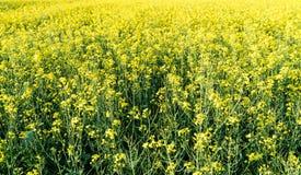 关闭一个油菜籽领域的看法在盛开的与选择聚焦 免版税库存图片