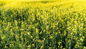 关闭一个油菜籽领域的看法在盛开的与选择聚焦 库存图片