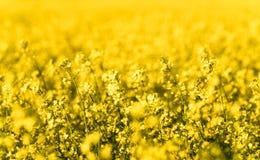 关闭一个油菜籽领域的看法在盛开的与选择聚焦 库存照片