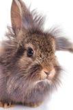 关闭一个逗人喜爱的狮子头兔子兔宝宝的图片 免版税库存图片