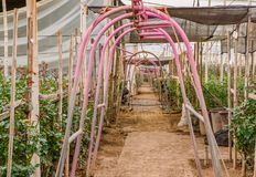 关闭一个金属结构以曲拱的形式在一个大小组的在温室里面的花种植园  库存图片