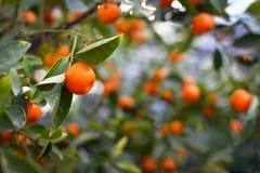 关闭一个Calamondin Citrofortunella Macrocarpa柑橘树桔子用模糊的果子和叶子在背景中 免版税库存照片
