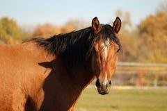 关闭一匹棕色和黑马的射击 免版税库存图片