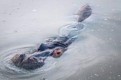 关闭一匹河马在水中 免版税图库摄影