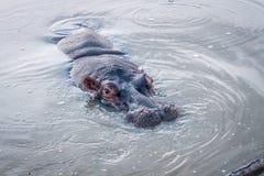 关闭一匹河马在水中 库存照片