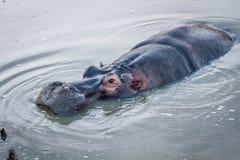 关闭一匹河马在水中 库存图片
