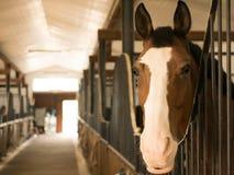 关闭一匹美丽的栗子色的公马马在槽枥 免版税库存照片