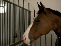 关闭一匹美丽的栗子色的公马马在槽枥 免版税库存图片