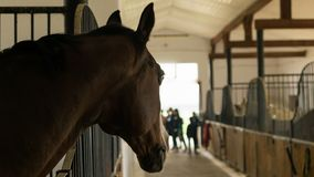 关闭一匹美丽的栗子色的公马马在槽枥 免版税图库摄影