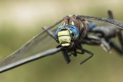 关闭一只五颜六色的蜻蜓的顶头射击 免版税图库摄影