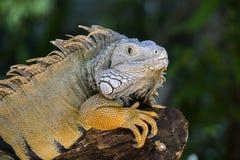 关闭一只休息的鬣鳞蜥的画象在海岛毛里求斯 免版税图库摄影