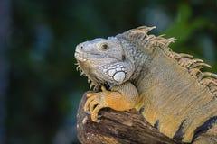 关闭一只休息的鬣鳞蜥的画象在海岛毛里求斯 库存照片