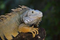 关闭一只休息的鬣鳞蜥的画象在海岛毛里求斯 免版税库存照片
