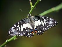 关闭一只使有大理石花纹的白色蝴蝶 免版税库存照片