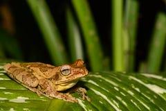 关闭一只共同的墨西哥雨蛙 库存图片