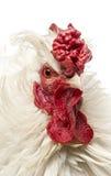 关闭一只卷曲用羽毛装饰的雄鸡,隔绝 库存照片
