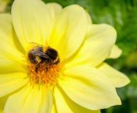 关闭一只土蜂的图象在一朵黄色大丽花的 免版税图库摄影