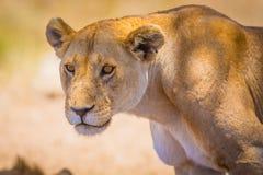 关闭一只大野生雌狮在非洲 免版税库存图片