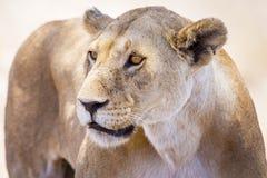 关闭一只大野生雌狮在非洲 库存照片