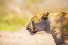 关闭一只大野生雌狮在非洲 免版税库存照片