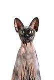 关闭一只好奇sphynx无毛的猫 库存照片
