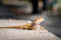 关闭一只小逗人喜爱的蜥蜴坐采取太阳的岩石 免版税库存照片