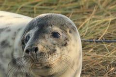 关闭一只幼小灰色小海豹 库存照片