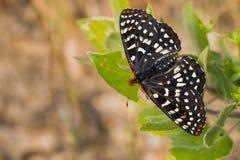 关闭一只易变的checkerspot蝴蝶,旧金山湾区,加利福尼亚 库存照片