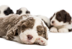 关闭一只有胡子的大牧羊犬小狗, 6个星期年纪 免版税库存照片