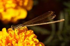 关闭一只未成熟的母白有腿的蜻蜓 库存图片