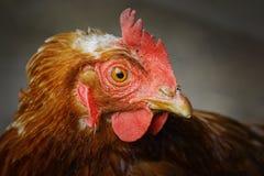 关闭一只棕色母鸡 免版税库存图片
