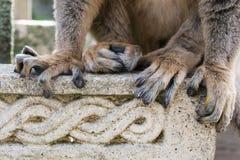 关闭一只棕色狐猴的脚趾 库存照片