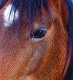 关闭一只棕色马眼睛 在黑色背景 免版税库存照片