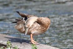 关闭一只母野鸭鸭子 库存照片