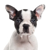 关闭一只法国牛头犬小狗,隔绝在白色 免版税图库摄影
