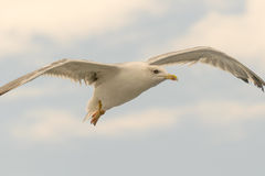 关闭一只海鸥的画象在天空 图库摄影