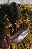 关闭一只深红龙虾的照片 免版税库存图片