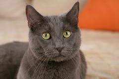 关闭一只灰色家猫 图库摄影