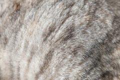 关闭一只灰色猫的毛皮 免版税库存照片