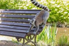 关闭一只环纹尾的狐猴,狐猴画象  库存照片