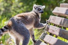 关闭一只环纹尾的狐猴,狐猴画象  免版税图库摄影