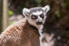 关闭一只环纹尾的狐猴,狐猴画象  免版税库存照片