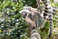 关闭一只环纹尾的狐猴,狐猴画象  库存图片