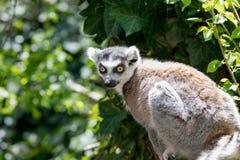 关闭一只环纹尾的狐猴,狐猴画象  免版税库存图片