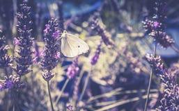 关闭一只白色蝴蝶的图象在淡紫色补丁的 免版税库存照片