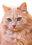 关闭一只红色猫的纵向 免版税库存图片