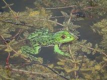 关闭一只绿色可食的青蛙或共同的水青蛙在水 免版税库存图片