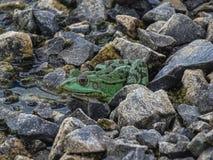 关闭一只绿色可食的青蛙或共同的水青蛙在水 库存图片