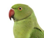 关闭一只罗斯圈状的长尾小鹦鹉 库存照片