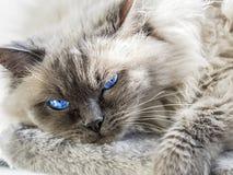 关闭一只蓝色colorpoint Ragdoll猫 库存照片